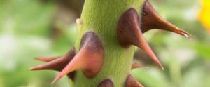 Branches épines anti limaces