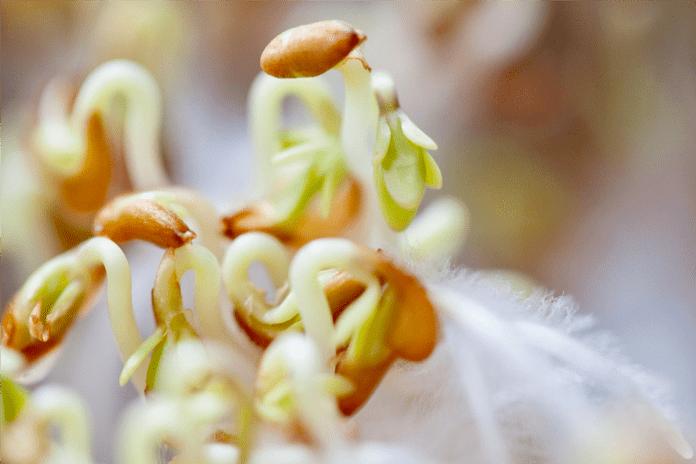 Graines de plantes anti-limaces