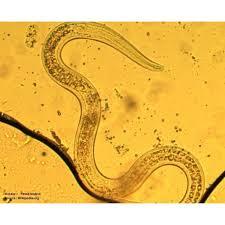 nématode anti limace