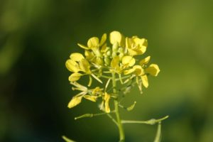 Moutarde plante limaces