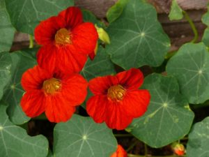 3 fleurs de capucine