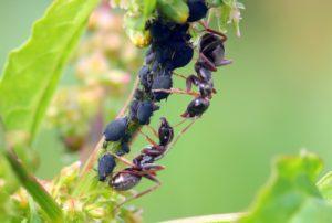 2 fourmis protègent des pucerons