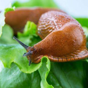une limace mange une salade