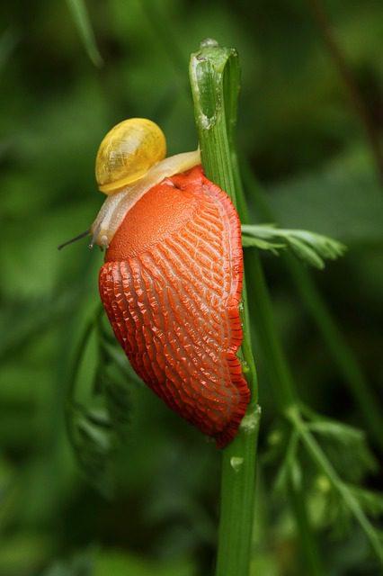 les canards coureurs indiens permettent de lutter contre les limaces et les scargots