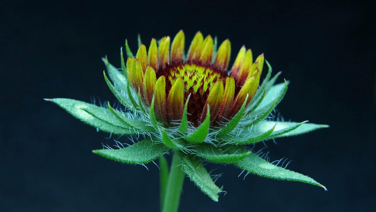 gaillardia fleur qui repousse les limaces