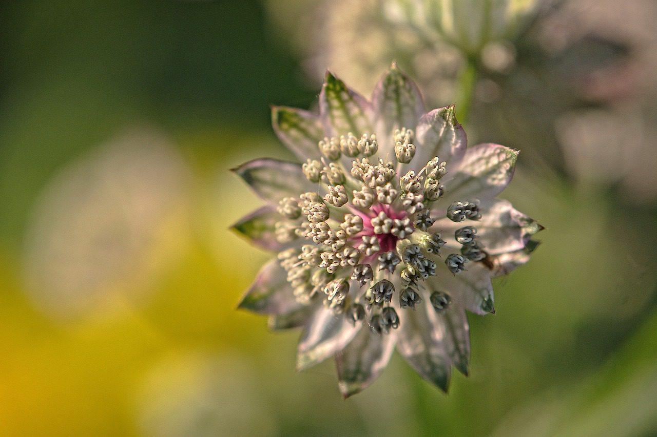 astrances fleur que les limaces ne mangent pas
