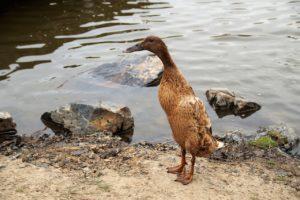 construire une mare pour les canards coureurs indiens