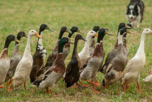 héberger des canards coureurs indien permet de lutter contre les limaces