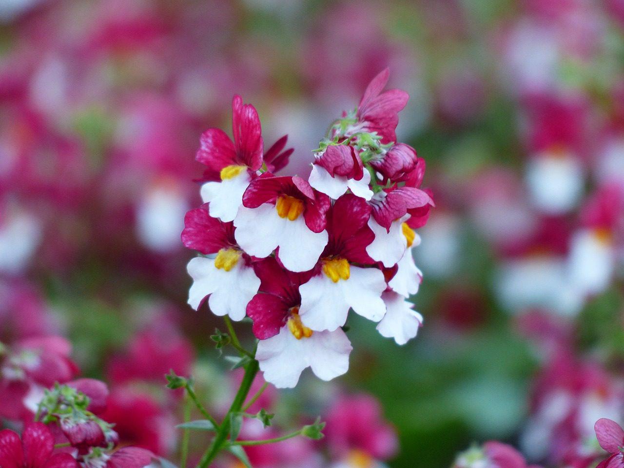 Némésie fleur anti limaces