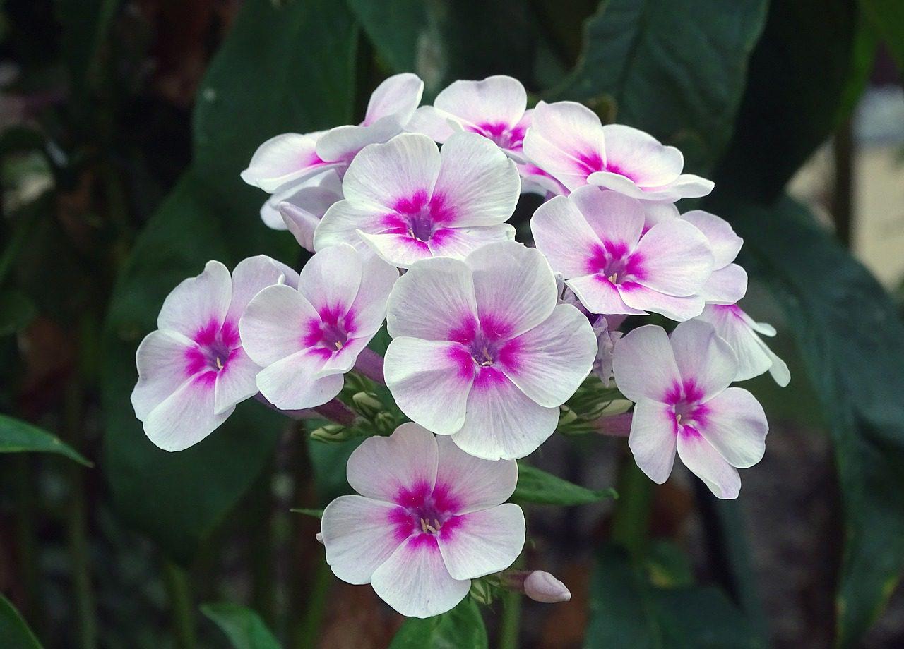 phlox fleur anti limaces