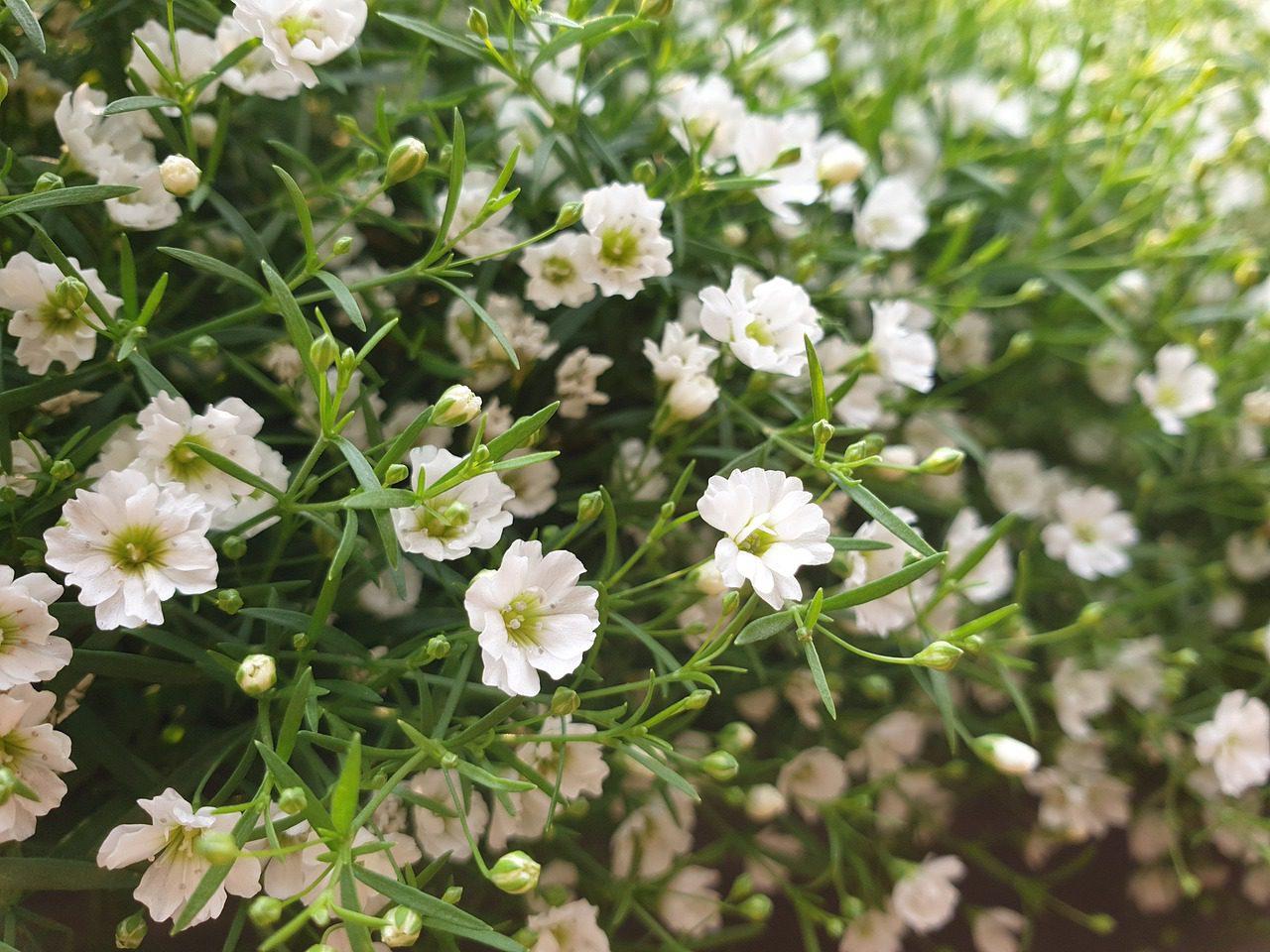 gypsophile paniculée fleur anti limaces