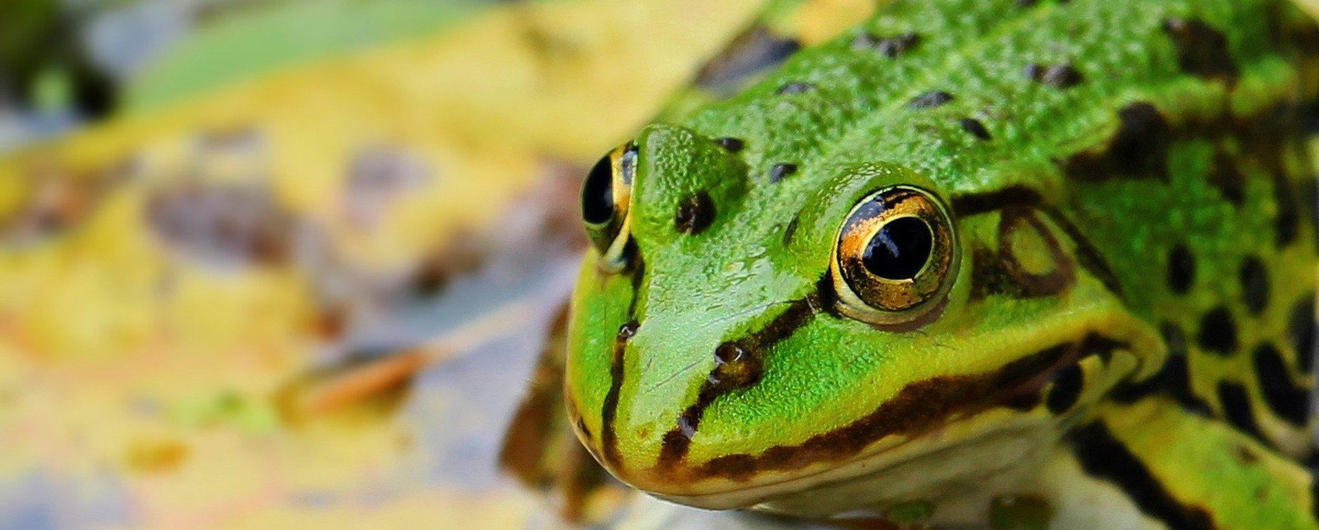 les grenouilles et les crapauds aident à lutter contre les limaces