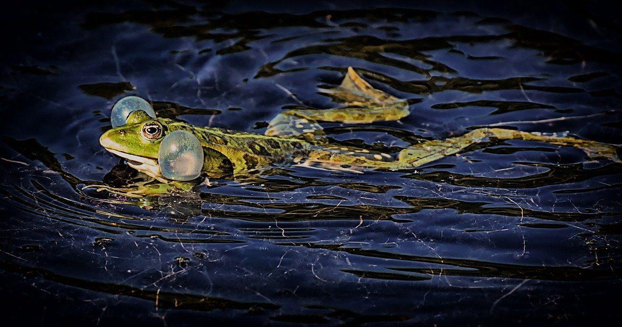 les grenouilles sont des prédateurs des limaces