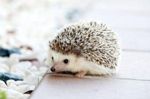 un bébé hérisson prédateur de limaces