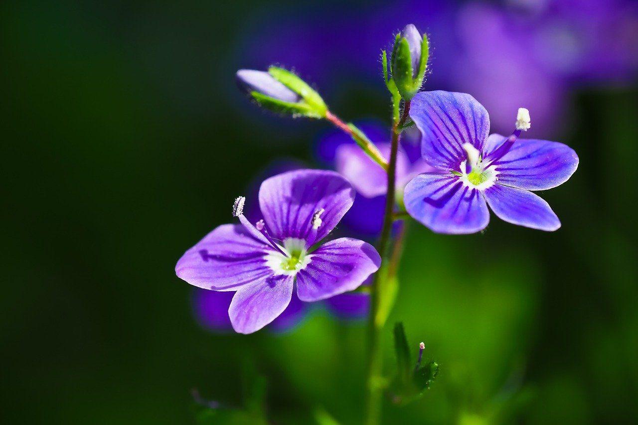 véroniques fleur anti limaces