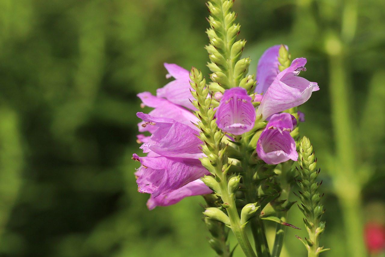 physostésie de virginie fleur anti limaces