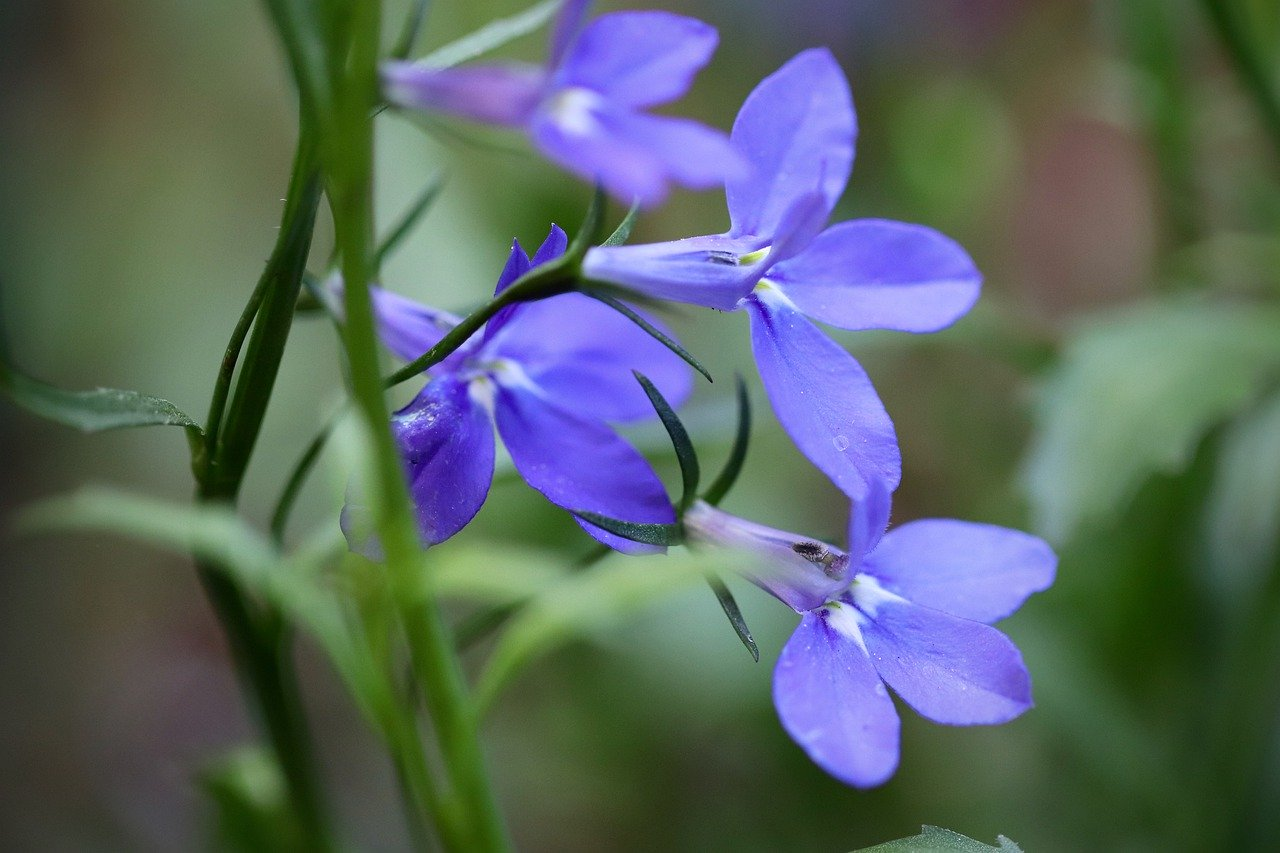 lobélie fleur anti limaces