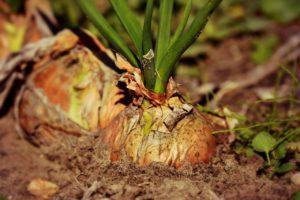Oignon qui est une plante répulsive à limaces