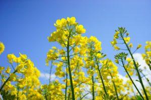 Moutarde pour massif sacrificiel