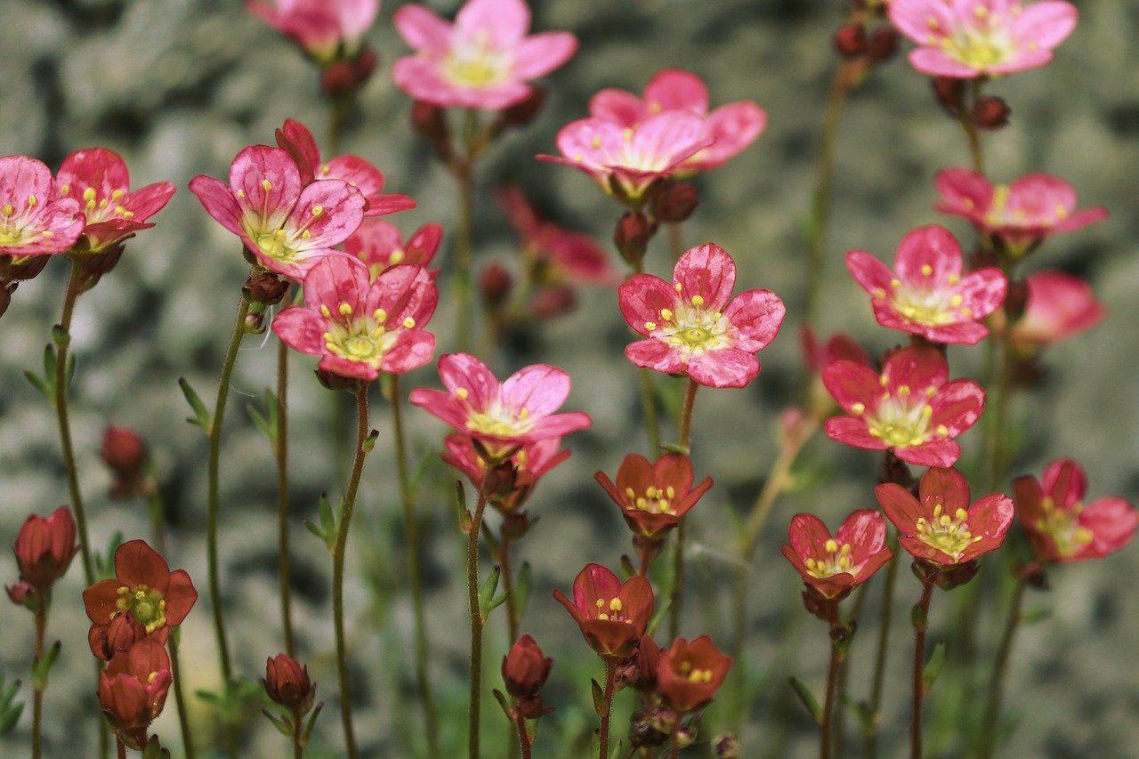 saxifrage fleur anti limaces