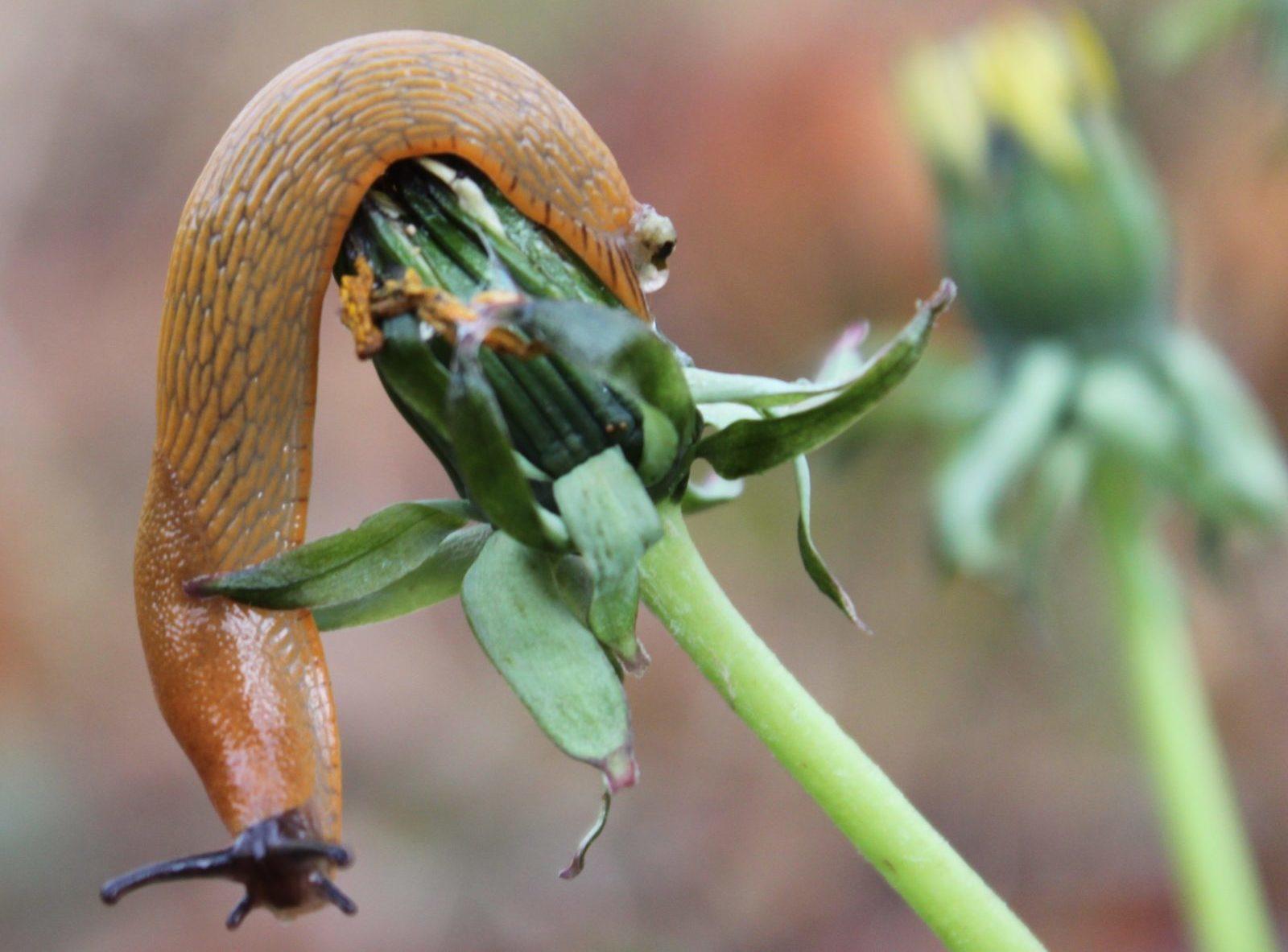 une limace qui mange une fleur de pissenlit