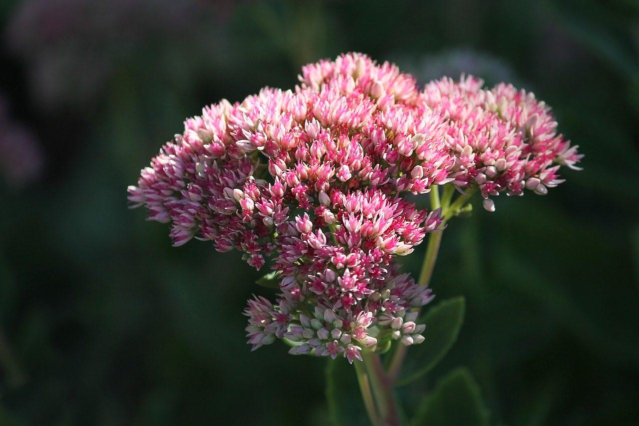 sedum pivoine fleur anti limaces
