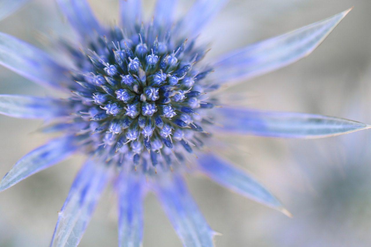 Chardon bleu fleur qui repousse les limaces