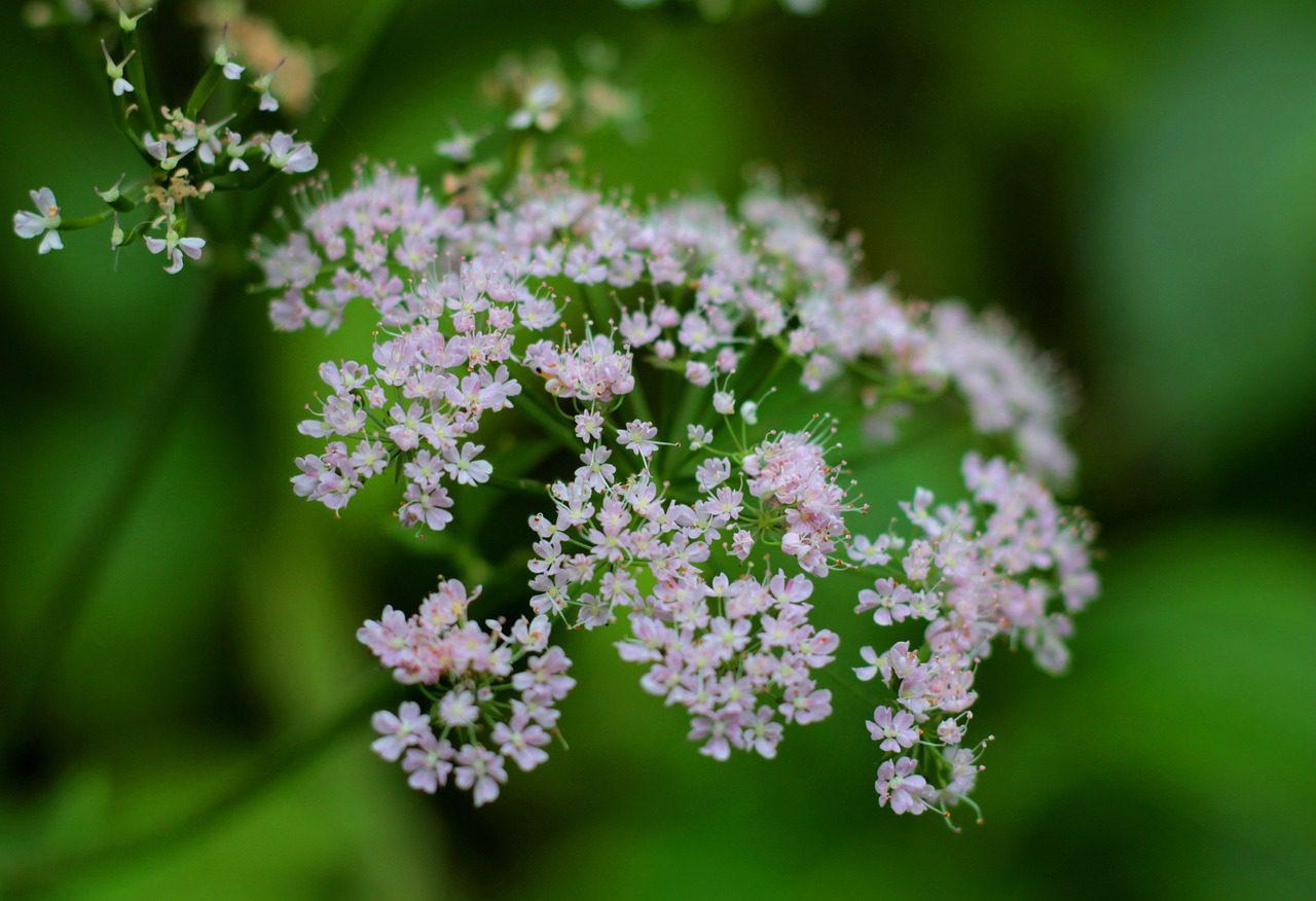 Valériane fleur qui repousse les limaces