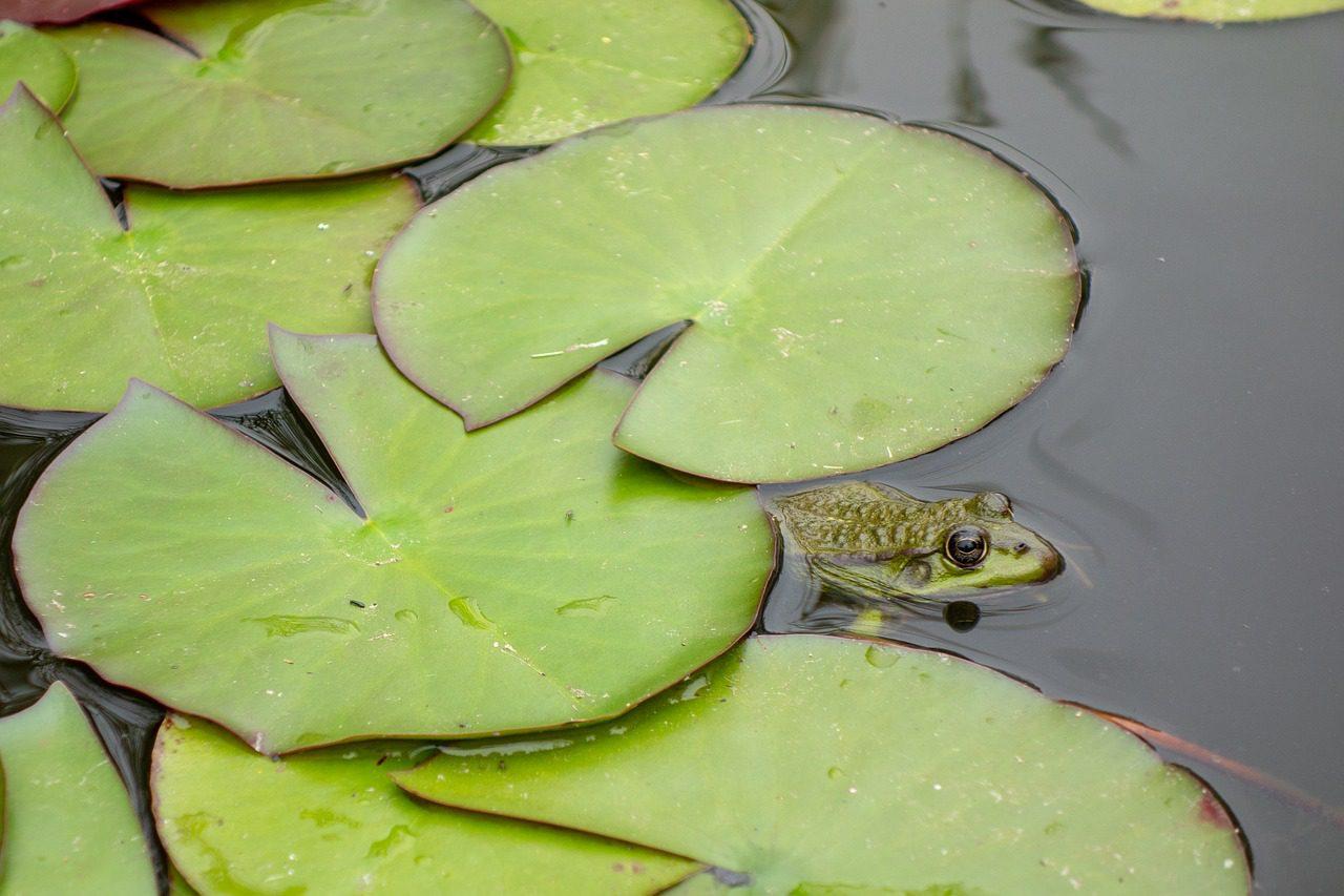 créer une mare pour héberger les grenouilles, en permaculture