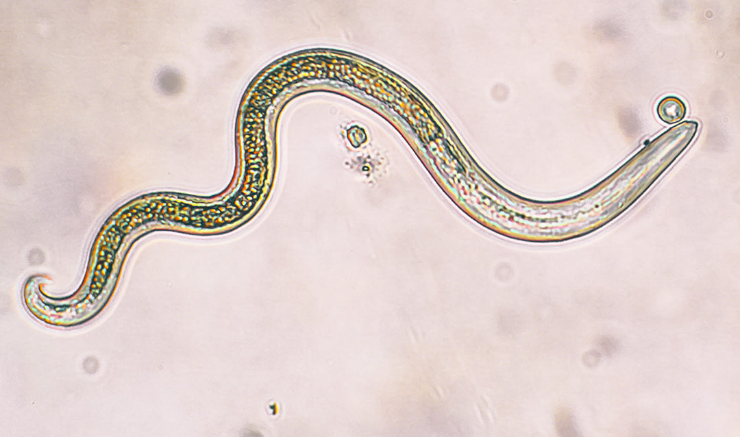 Photo d'un nématode ph anti limaces naturel