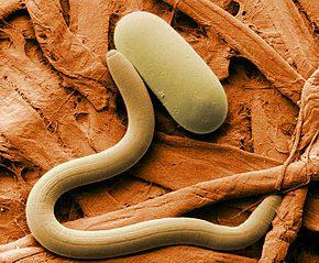 un nématode comme anti limaces naturel