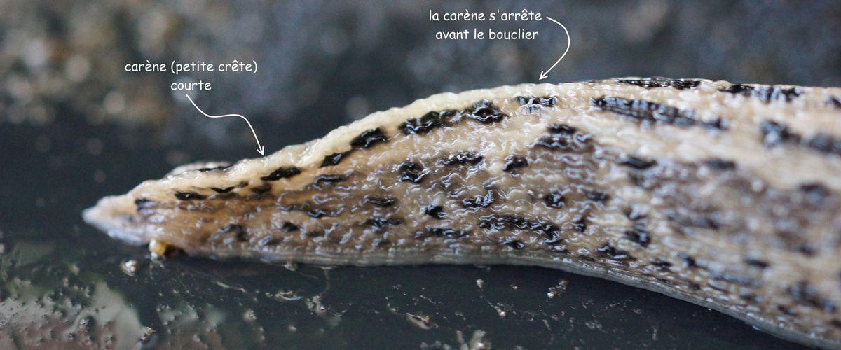 photo de l'anatomie d'une limace léopard