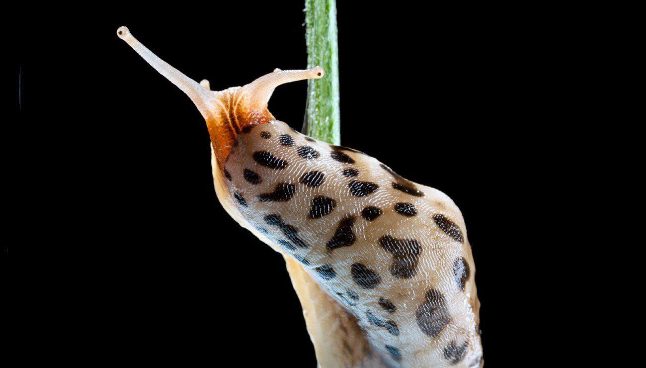 la limace léopard est un prédateur de limaces