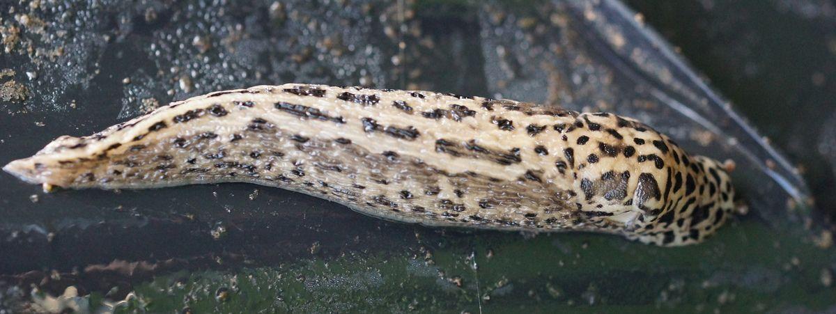 photo de limace leopard