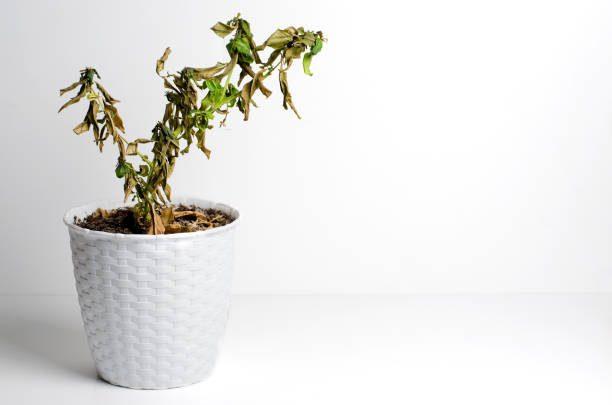 inhibition de la croissance d'une plante par le marc de café