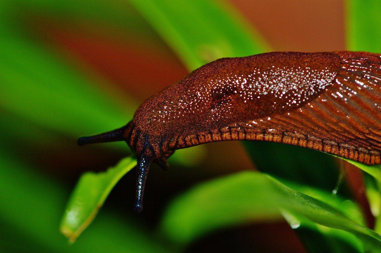 limaces mangés par les carabes