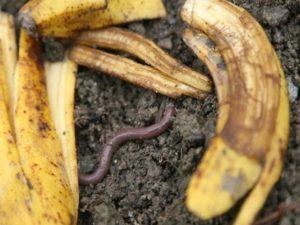 la peau de banane comme engrais au jardin