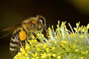 le frelon asiatique mange les abeilles