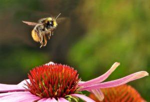 Les frelons asiatiques sont un dangers pour les pollinisateurs sauvages