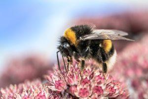 les bourdons sont menacés par les abeilles et les frelons asiatiques
