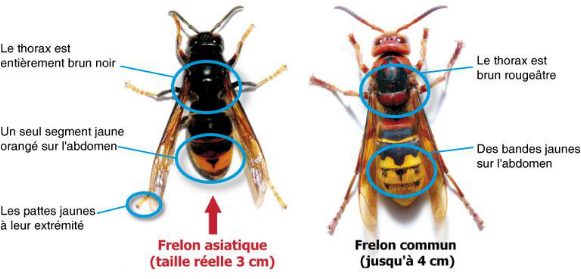 frelon asiatique identification