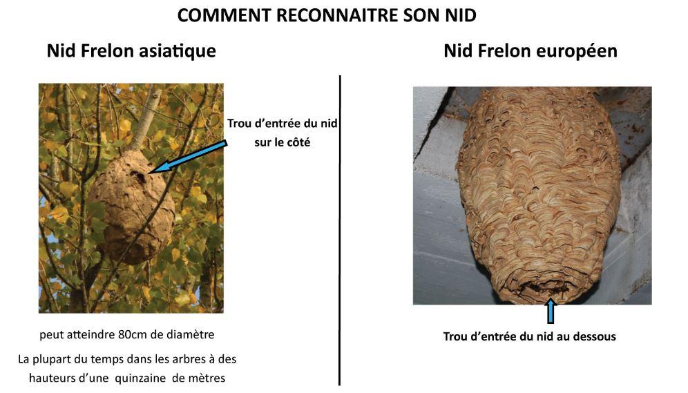différence nid frelon asiatique nid frelon européen