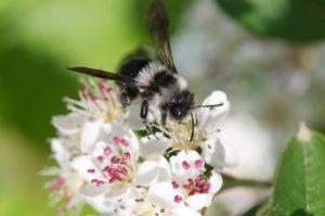 les abeilles sauvages sont menacées par les frelons asiatiques