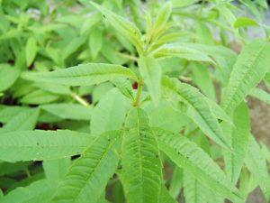 la verveine citronnelle est une plante qui repousse les chats