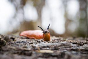 les limaces doivent être ramassées avant les barrière au cuivre