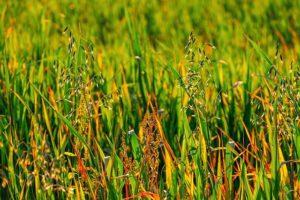 les carabes éliminent les mauvaises herbes