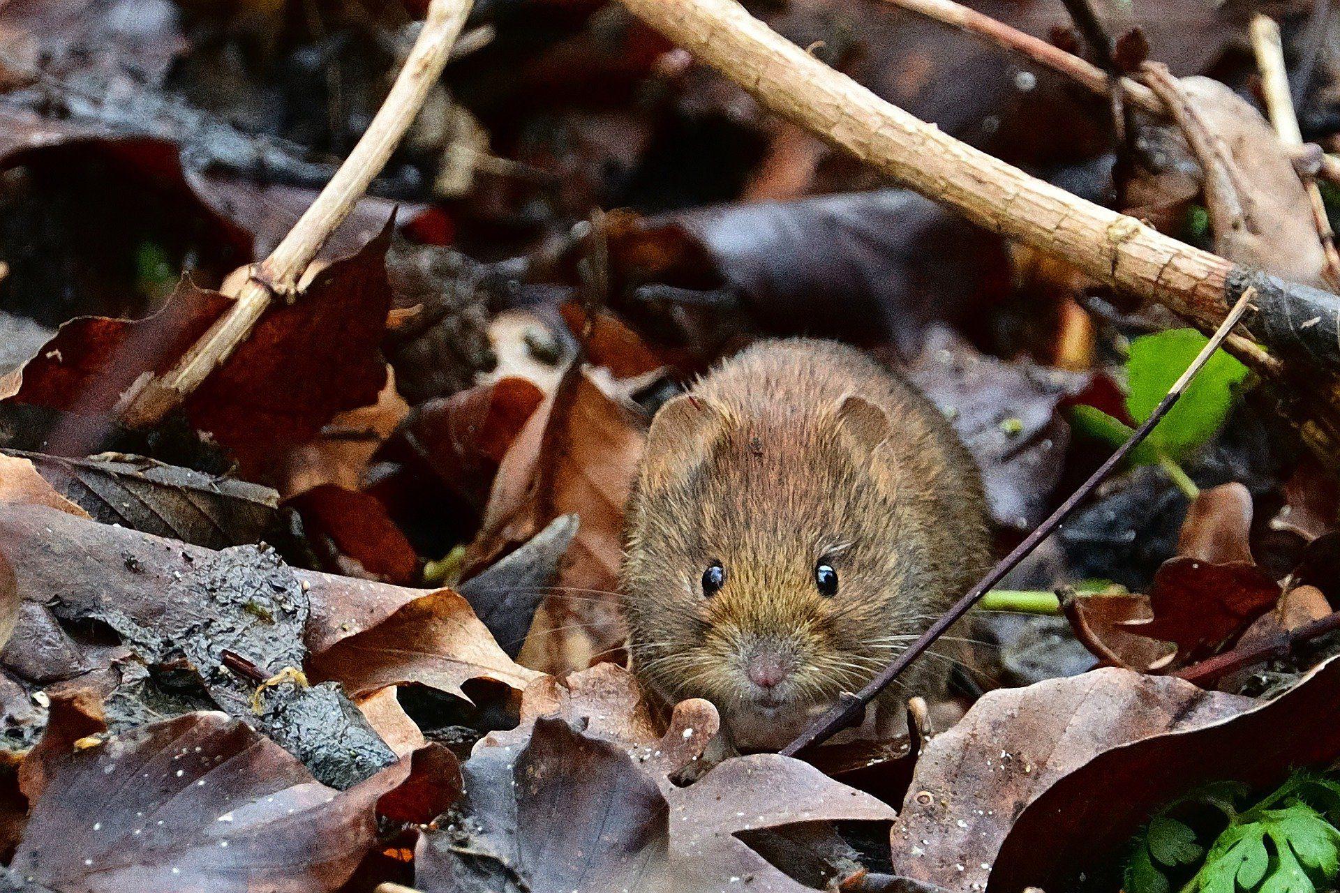 lutter contre le rat taupier au potager