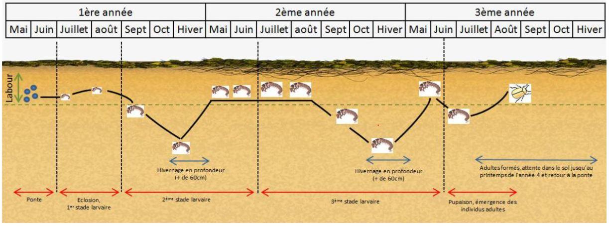 illustration du cycle de vie du hanneton commun