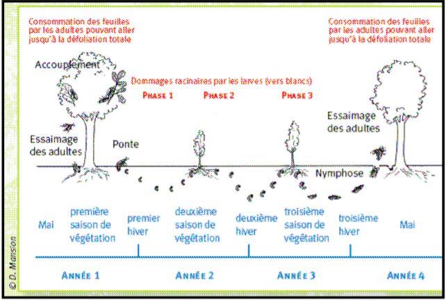 cycle de vie de la larve de hanneton commun