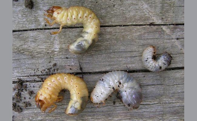 différences entre larve de hannetons et larve de cétoine image